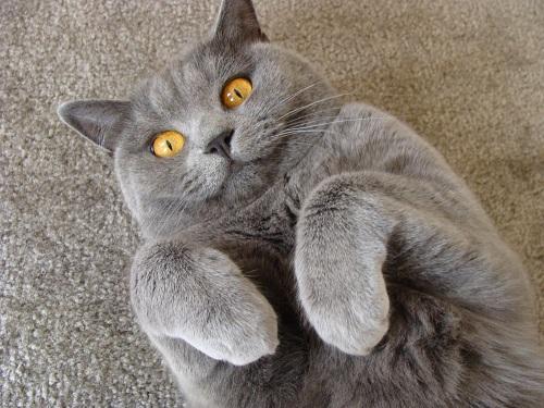 В каком возрасте можно кастрировать кота
