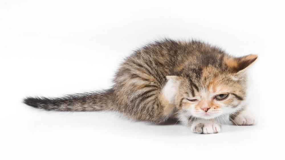 Ушной клещ у домашних животных